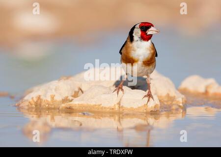 Eurasian goldfinch (Carduelis carduelis balcanica, Carduelis balcanica), adult male by the waterside, Croatia - Stock Photo