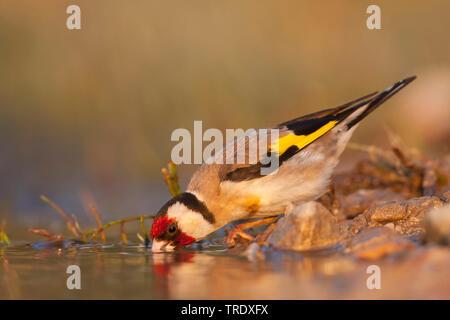 Eurasian goldfinch (Carduelis carduelis balcanica, Carduelis balcanica), adult male drinking, Croatia - Stock Photo