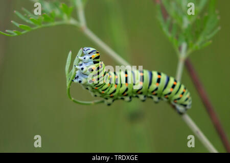 swallowtail (Papilio machaon), caterpillar feeding on Milk-parsley, Germany, Bavaria, Oberbayern, Upper Bavaria