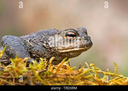 European common toad (Bufo bufo), sitting on moss, Germany - Stock Photo