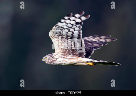 hen harrier (Circus cyaneus), adult female in flight, Finland, Hanko - Stock Photo