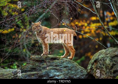 Eurasian lynx (Lynx lynx), standing on a rock in a forest, Germany - Stock Photo