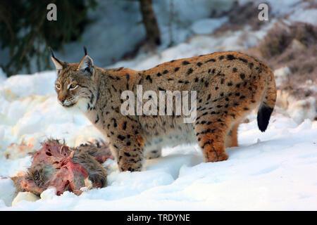 northern lynx (Lynx lynx lynx), with prey in snow, Germany - Stock Photo