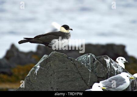 Spatelraubmoewe, Spatel-Raubmoewe (Stercorarius pomarinus), an der Meereskueste , Norwegen, Finnmark | pomarine skua (Stercorarius pomarinus), at sea - Stock Photo