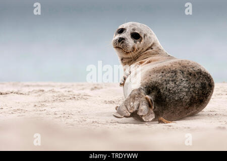 gray seal (Halichoerus grypus), young animal on the beach, Netherlands - Stock Photo