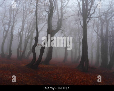 beech forest on Bourak in autumnal mist, Czech Republic, Erz Mountains, Mikulov - Stock Photo