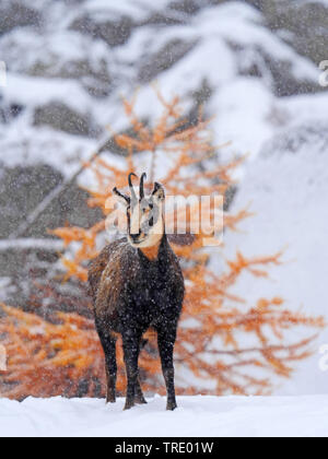 chamois (Rupicapra rupicapra), on a snow-covered mountain slope, discoloured larch in the background, Italy, Gran Paradiso National Park, Val d'Aosta - Stock Photo