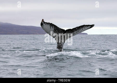 humpback whale (Megaptera novaeangliae), tail poking out ot the water, Iceland
