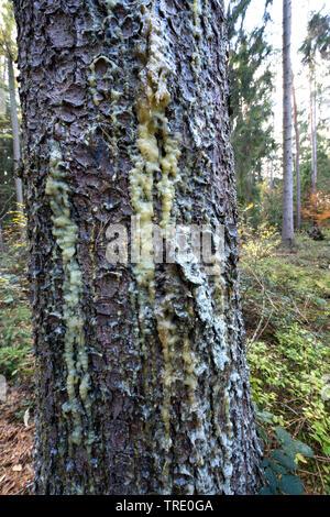 Gemeine Fichte, Gewoehnliche Fichte (Picea abies), austretender Harz an einem Fichtenstamm, Deutschland | Norway spruce (Picea abies), collected resin - Stock Photo