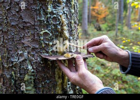 Gemeine Fichte, Gewoehnliche Fichte (Picea abies), austretender Harz wird von einem Fichtenstamm gesammelt, Deutschland | Norway spruce (Picea abies), - Stock Photo