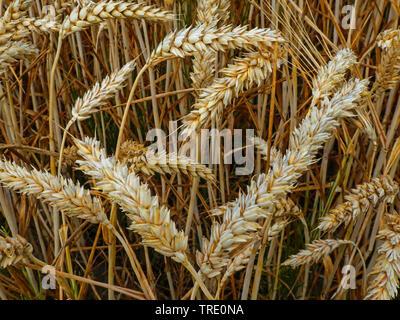 Saat-Weizen, Saatweizen, Weich-Weizen, Weichweizen, Weizen (Triticum aestivum), reife Weizenaehren, Deutschland, Niedersachsen | bread wheat, cultivat - Stock Photo