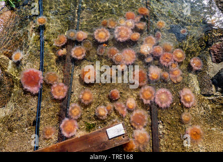 lions mane, giant jellyfish, hairy stinger, sea blubber, sea nettle, pink jellyfish (Cyanea capillata), washed up on the beach, Germany, Schleswig-Holstein - Stock Photo