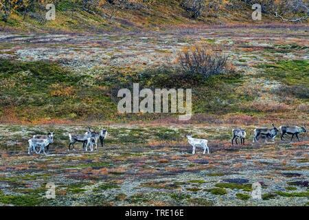 European reindeer, European caribou (Rangifer tarandus tarandus), group in the autumnal Saltfjellet, Norway, Nordland, Saltfjellet Svartisen National Park