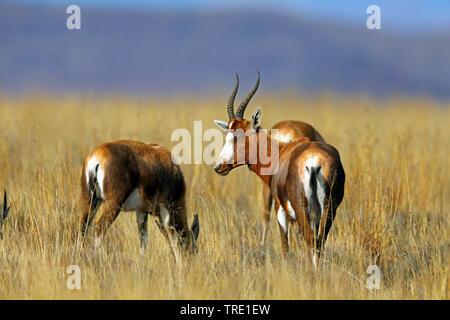 blesbok (Damaliscus phillipsi, Damaliscus dorcas phillipsi, Damaliscus pygargus phillipsi), group in savanna, South Africa, Eastern Cape, Mountain Zebra National Park - Stock Photo