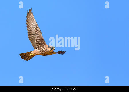 lanner falcon (Falco biarmicus), in flight, South Africa, Kgalagadi Transfrontier National Park - Stock Photo