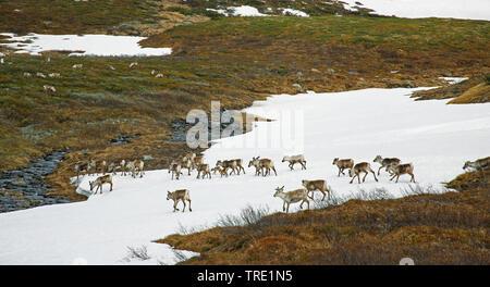 reindeer, caribou (Rangifer tarandus), herd walking over a snow field, Norway, Borgefjell National Park - Stock Photo