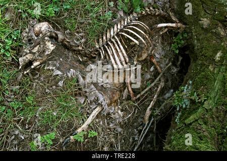 roe deer (Capreolus capreolus), dead deer, Netherlands, South Holland, Polder Dordtse Biesbosch - Stock Photo