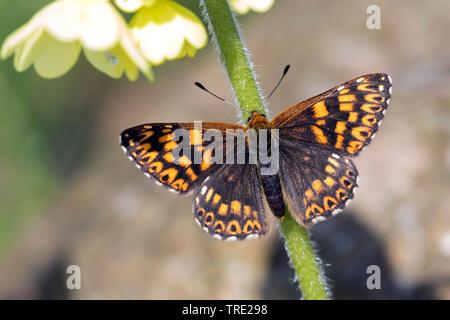 Duke of Burgundy (Hamearis lucina, Nemeobius luvina), female on primrose, Germany - Stock Photo
