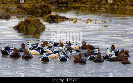 Steller's eider (Polysticta stelleri), group in water, Norway, Varangerfjord - Stock Photo