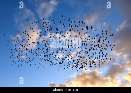common starling (Sturnus vulgaris), flying flock in evening light, Germany - Stock Photo