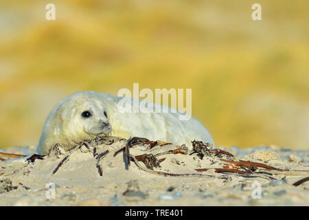 gray seal (Halichoerus grypus), young gray seal on the beach, Germany, Schleswig-Holstein, Heligoland - Stock Photo