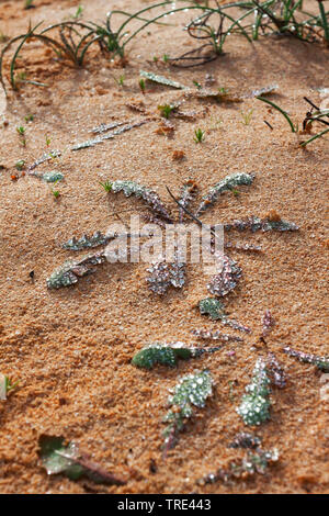 morning dew on a plant, Canary Islands, Fuerteventura - Stock Photo