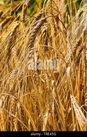 Gerste (Hordeum vulgare), reife Gerste, Deutschland | barley (Hordeum vulgare), in barley field, Germany | BLWS516801.jpg [ (c) blickwinkel/M. Kuehn T - Stock Photo