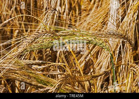 Gerste (Hordeum vulgare), reife Gerste, Deutschland | barley (Hordeum vulgare), in barley field, Germany | BLWS516802.jpg [ (c) blickwinkel/M. Kuehn T - Stock Photo