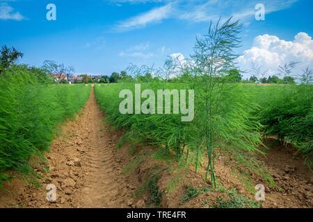 Shouting asparagus field after harvest in summer, Bundesrepublik Deutschland - Stock Photo