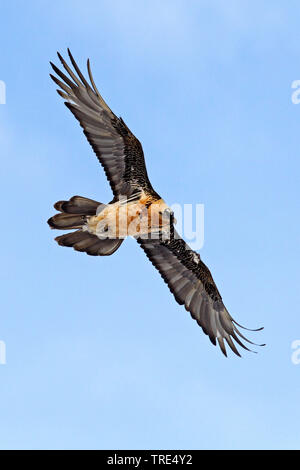 Bartgeier, Bart-Geier, Laemmergeier, Laemmer-Geier (Gypaetus barbatus), fliegend, Schweiz, Wallis   Lammergeier, Bearded Vulture (Gypaetus barbatus), - Stock Photo