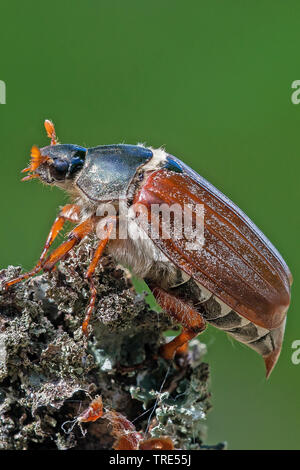 Common cockchafer, Maybug, Maybeetle (Melolontha melolontha), lateral view, Austria, Burgenland