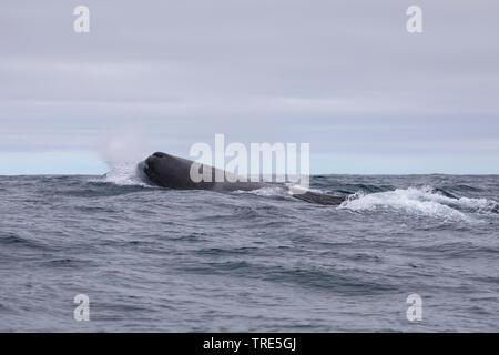 Grosser Pottwal, Cachalot, Kaschelot, Spermwal (Physeter macrocephalus, Physeter catodon), an der Oberflaeche, Island | sperm whale, great sperm whale - Stock Photo