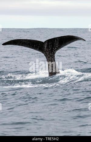 Grosser Pottwal, Cachalot, Kaschelot, Spermwal (Physeter macrocephalus, Physeter catodon), Fluke an der Oberflaeche, Island | sperm whale, great sperm - Stock Photo