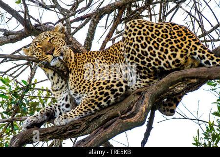 leopard (Panthera pardus), sleeping in a tree, Kenya, Masai Mara National Park - Stock Photo