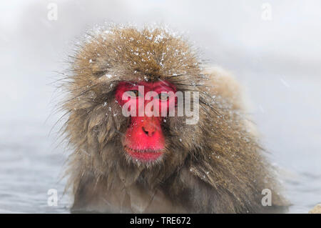 Japanese macaque, snow monkey (Macaca fuscata), bathing in a hot spring in winter, portrait, Japan, Hokkaido - Stock Photo