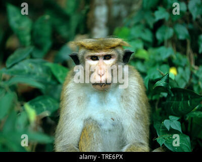 toque macaque (Macaca sinica), portrait - Stock Photo