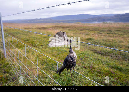 Rotdrossel, Rot-Drossel (Turdus iliacus), Vogel stirbt an Stacheldraht, Tod durch Draht in der Landschaft, Island | redwing (Turdus iliacus), Bird die - Stock Photo