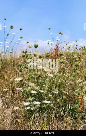 Wilde Moehre (Daucus carota), bluehend, Deutschland | Queen Anne's lace, wild carrot (Daucus carota), blooming, Germany | BLWS518863.jpg [ (c) blickwi - Stock Photo