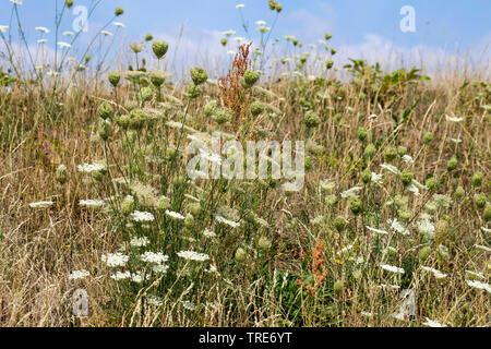 Wilde Moehre (Daucus carota), bluehend, Deutschland | Queen Anne's lace, wild carrot (Daucus carota), blooming, Germany | BLWS518864.jpg [ (c) blickwi - Stock Photo