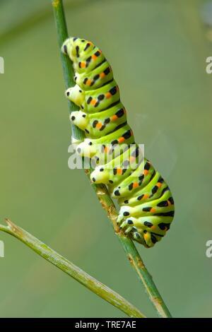 swallowtail (Papilio machaon), caterpillar on a stem, Germany