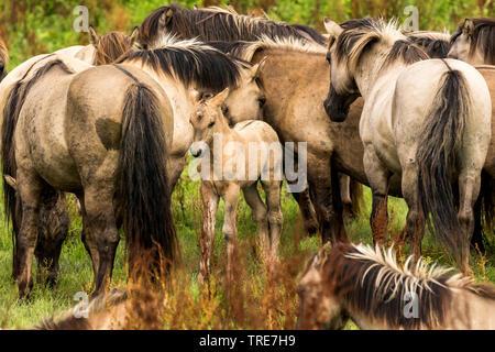 Konik horse (Equus przewalskii f. caballus), herd with foal, Netherlands, Flevoland, Oostvaardersplassen - Stock Photo
