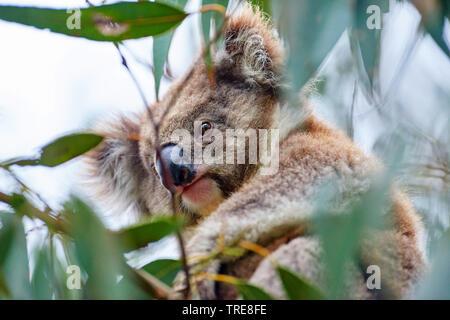 koala, koala bear (Phascolarctos cinereus), sitting in an eucalytus tree, Australia, Victoria, Great Otway National Park - Stock Photo