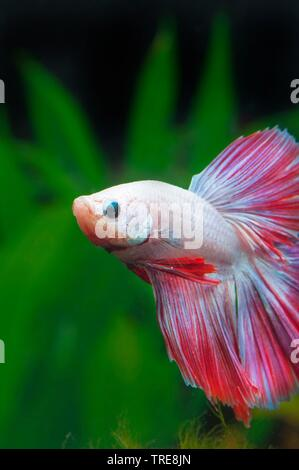 Siamese fighting fish, Siamese fighter (Betta splendens Halfmoon Multicolor, Betta splendens Half Moon Multicolor), male of the breed Halfmoon Multicolor - Stock Photo