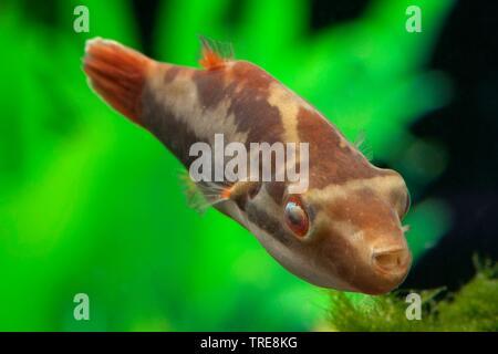 Kamm-Kugelfisch, Kammkugelfisch (Carinotetraodon lorteti), im Aquarium | Somphong's Puffer; Crested Puffer (Carinotetraodon lorteti), in aquarium | BL - Stock Photo