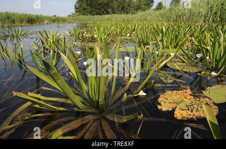 crab's-claw, water-soldier (Stratiotes aloides), blooming, Netherlands - Stock Photo