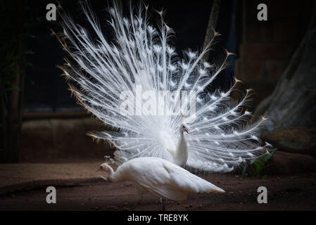 Beautiful white peacock opened shows tail in the peacock farm - Stock Photo