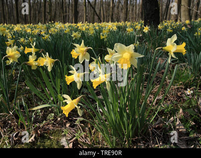 common daffodil (Narcissus pseudonarcissus), blooming wild daffodills in a forest, Netherlands - Stock Photo