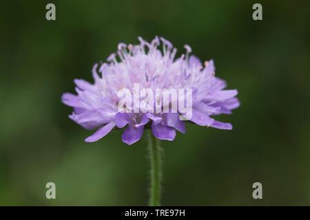 Acker-Knautie, Ackerknautie, Acker-Witwenblume, Ackerwitwenblume (Knautia arvensis), Bluetenstand, Niederlande | blue button, field scabious (Knautia - Stock Photo