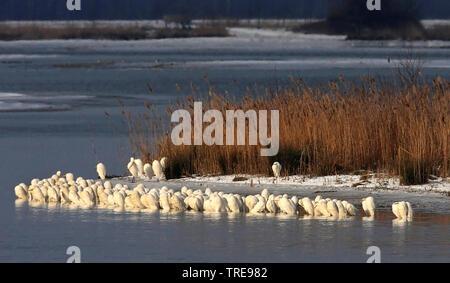great egret, Great White Egret (Egretta alba, Casmerodius albus, Ardea alba), colony at a lake in winter, Netherlands, De Biesbosch National Park - Stock Photo