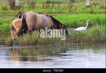 Konik horse (Equus przewalskii f. caballus), at the Flevo polder, Netherlands, Flevoland, Oostvaardersplassen - Stock Photo